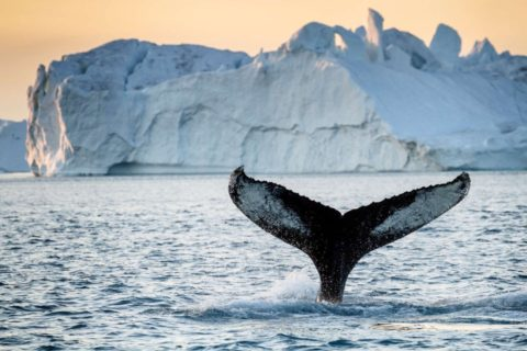 Whale spotting off the coast of Greenland.